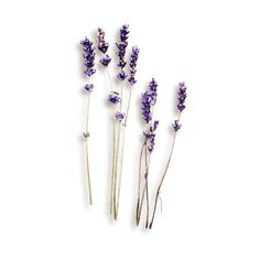 kimla_LS_lavender_sh.png ❤ liked on Polyvore featuring flowers, fillers, backgrounds, plants and decor