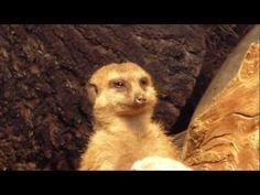 He might be the sleepiest meerkat ever, but is determined to stay awake; is this a zoo or a college class?