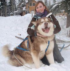 Wonderful All About The Siberian Husky Ideas. Prodigious All About The Siberian Husky Ideas. Giant Alaskan Malamute, Alaskan Husky, Malamute Puppies, Siberian Husky Facts, Siberian Husky Puppies, Husky Puppy, Siberian Huskies, Husky Dog Names, Huge Dogs