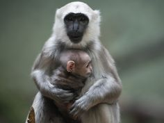 Sally, a Gray langur monkey, holds her baby in their enclosure at the Berlin Zoological Garden, on February 21, 2014. Gray langurs live in a community in which a single male lives with several females and their offspring.