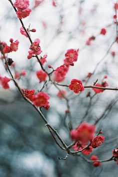 quince- first bloom- signs of spring Japanese Plum Tree, Japanese Style, Love Flowers, Beautiful Flowers, Red Plum, Palmiers, Belleza Natural, Pretty Pictures, Cherry Blossom