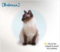 The Balinese cat was originally registered as a long-haired Siamese in the 1920s because, well – that's just what he is! It wasn't until the 1950s that a specific breeding program began here in the United States, and the breed was renamed the Balinese, after the graceful temple dancers of Bali.