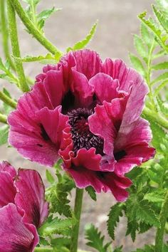 Harlem Oriental Poppy This is an Oriental Poppy that blooms in early summer, with all the other Poppies, then rests and reblooms late in the season!