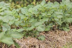 Planter des pommes de terre en pot, sur un balcon, façon permaculture ou sans travailler la terre : tout est possible. Les pommes de terre donnent dans presque toutes les conditions ! Rien n'est plus facile que de récolter ces tubercules, pourvu que vous