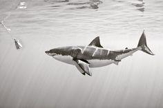 #greatwhiteshark #greatwhite #shark #solmarv #sharkangels #islandcruiseadventure…