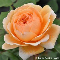 Pflanzen-Kölle Englische Rose 'Crown Princess Margareta' (Auswinter) David Austin.  Traumhafte Englische Rose mit großen, nostalgisch gefüllten Blüten, intensivem Teerosenduft und gesundem Laub.