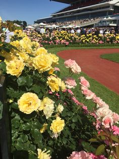 The famous yellow roses at Flemington, Melbourne Cup Day 2015