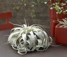 In love with this kind of air plant | air plants, xerographica