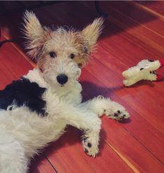 Wire Fox Terrier...what?