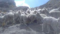 Alpacas en San José de Illauro. Ancash-Perú.