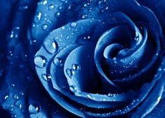 Metal Poster Blue Rose