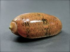 Oliva bulbiformis, Philippines, 30 mm