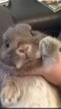 My baby❤️ Netherland Dwarf Bunny