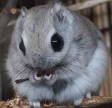 Japanese dwarf flying squirrel Oh how adorable! Happy Animals, Cute Funny Animals, Nature Animals, Animals And Pets, Japanese Dwarf Flying Squirrel, Paws And Claws, Reptiles, Mammals, Cute Friends