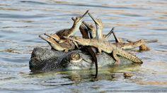 O indiano Udayan Rao Pawar, de 14 anos, foi o vencedor da categoria 'júnior geral' com a foto de uma colônia de crocodilos gharial, espécie ...