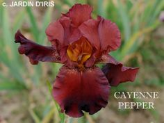 Cayenne Pepper - TB