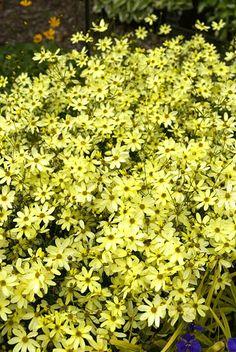 Coreopsis 'Moonbeam' Long Blooming Perennials, Fruit, Outdoor Ideas, Herbs, Gardening, Plants, Lawn And Garden, Herb