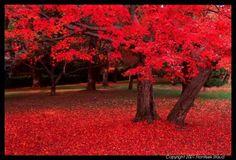 arbol , rojo fuego