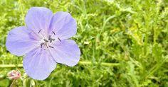Pale Violet Above The Green.This image was taken at Slimbridge WWT in Gloucestershire UK. This Geranium 'Brookside' is in full bloom shining brightly in a sea of green. #wwtslimbridge #slimbridge #nature #flower #green #lilac #geranium #floral #flowerart #floralart #art #artist #ukart #digitalart #photoart #jasongardnerconway #gloucestershire
