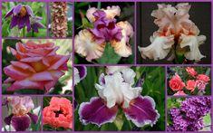 Ирисы бородатые — Сочетание с другими цветами