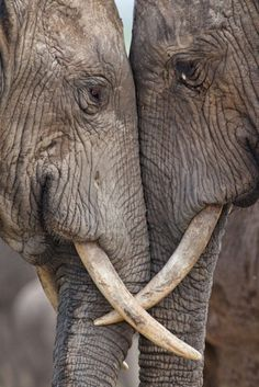 elephants....they are probably fighting...but look like they are cozy.
