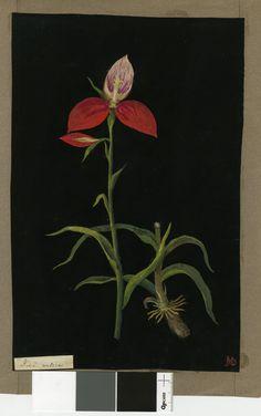 Mary Delany (British; Female; 1700 - 1788)