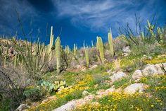 Desert in Bloom - Tucson, AZ  www.douglasadamsphotography.com