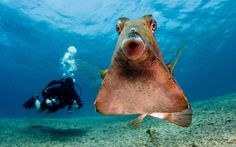This little fish showed no signs of hesitation as it swum up to divers and photobombed their picture. The 15cm thornback trunkfish took a liking to a diver's camera and playfully interacted with them in the Red Sea, off Israel. Picture: Ilan Ben Tov/Solent News