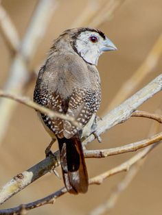 Taeniopygia bichenovii, Double-barred Finch