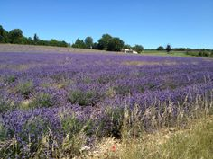 Lavender fields found while driving around Provence
