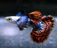 TYPES OF GUPPIES - Guppies are a very easy-to-breed fish species. They also adapt quickly to their environment and this is what makes them perfect for beginner aquarists. They do not require special living conditions and suitable food is easy to find and very affordable, so their upkeep is very inexpensive also.