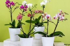 How To Repot Phalaenopsis Orchids (Moth Orchid) - Smart Garden Guide Orchid Planters, Orchid Pot, Moth Orchid, Phalaenopsis Orchid Care, Planters For Sale, Growing Orchids, Smart Garden, Garden Guide, Potting Soil