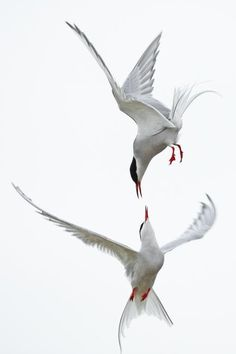 Ballet aerien, Islande by G. Soligny. Stunning shot of two terns in the air