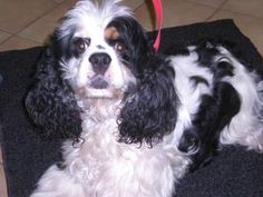 """@Dawn Fillon Clo """"Buckeye 112-12 is an adoptable Cocker Spaniel Dog in New Castle, PA. Buckeye is an adorable Parti colored Cocker Spaniel. He is 4 years old. He is very friendly and super cute."""""""