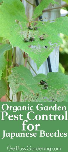 Organic Gardening - Japanese beetles are very destructive, and major pests for many gardeners! Learn how to control them in your garden with these organic pest control methods. Japanese Beetles, Bees And Wasps, Organic Gardening Tips, Vegetable Gardening, Gardening Hacks, Garden Guide, Natural Garden, Garden Pests, Plant Pests