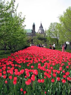 Bright Red Tulips at the Ottawa Tulip Festival - Travel Maple Leaf Tours Ottawa Tulip Festival, Northern Lights Canada, Places To See, Places Ive Been, Beautiful World, Beautiful Places, Ottawa Valley, Hill Park, Holiday Places