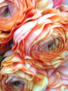peach ranunculus- With peonies for bouquets My Flower, Beautiful Flowers, Unusual Flowers, Beautiful Things, Colorful Roses, Orange Flowers, Cream Flowers, Color Inspiration, Planting Flowers