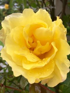 Жёлтая роза в саду😊