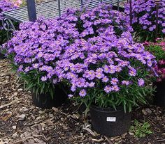 Aster 'Wood's Purple' -- Aster 'Wood's Purple' has perfectly clean foliage, and is loaded with single, clear purple flowers in late summer and early fall. It is slightly earlier than 'Wood's Blue'. Bred for compact habit, long bloom period and heavy flowering, all of the Woods Asters are outstanding pot crops and should be used far more often as a sturdy perennial alternative for mums.