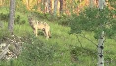 White Wolf : First Gray wolf spotted lurking in the Black Hills - Sacred Place To Native Americans
