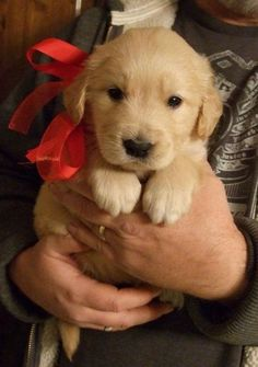 Dog Breeds A Golden Retriever Puppy.Best Christmas gift ever! - Warning: this post contains cuteness overload. [Editor's note — The title of this post is misleading. ALL dogs are the best dogs. Animals And Pets, Baby Animals, Funny Animals, Cute Animals, Wild Animals, Cute Puppies, Cute Dogs, Dogs And Puppies, Doggies