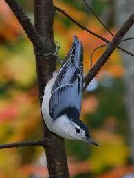 Sitta carolinensis - White-breasted Nuthatch -- Seen since childhood, first recorded sighting: Valley Cottage, NY Love Birds, Beautiful Birds, Animals Beautiful, Cute Animals, Bird Pictures, Animal Pictures, Ontario Birds, Backyard Birds, Bird Watching