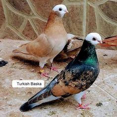 Cute Pigeon, Pigeon Bird, Pretty Birds, Beautiful Birds, Animals Beautiful, Tumbler Pigeons, Pigeon Loft Design, Weird Birds, Pigeon Pictures