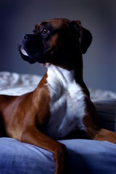 Such a good looking boxer.