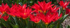 Tulip Bulbs Scarlet Baby