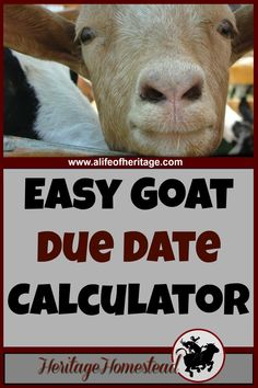 You need to know the feed and care a goat needs during pregnancy. Pregnant does have many needs to support optimal health.