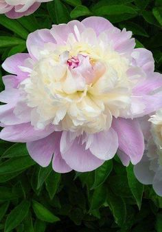 Rare Peony Tree Seeds Flower seeds Planting of Greenery And Flowers Terrace Courtyard Garden Paeonia Suffruticosa Seeds Peony Flower, Flower Seeds, My Flower, Cactus Flower, Amazing Flowers, Beautiful Flowers, Exotic Flowers, Purple Flowers, Peonies Garden