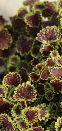 a fun coleus that offers a unique trailing habit, ColorBlaze Chocolate Drop. Grow it in a container on your patio on its own, or mix it with other chartreuse or dark leafed plants. So easy to grow, loves life in the sun OR the shade! Plant Sale, Cool Landscapes, Seasonal Garden, Landscaping Tips, Plants, Foliage Plants, Full Sun Plants, Landscape, Outdoor Planters