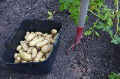 Odla i pallkrage – här är allt du måste veta | Leva & bo Carrots, Vegetables, Food, Garden, Garten, Essen, Lawn And Garden, Carrot, Vegetable Recipes