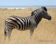 """...  known as a """"Plains Zebra"""", the Burchell's Zebra is anything but """"plain""""…"""